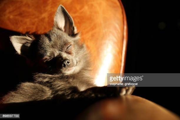 Chihuahua dog sitting in the sun