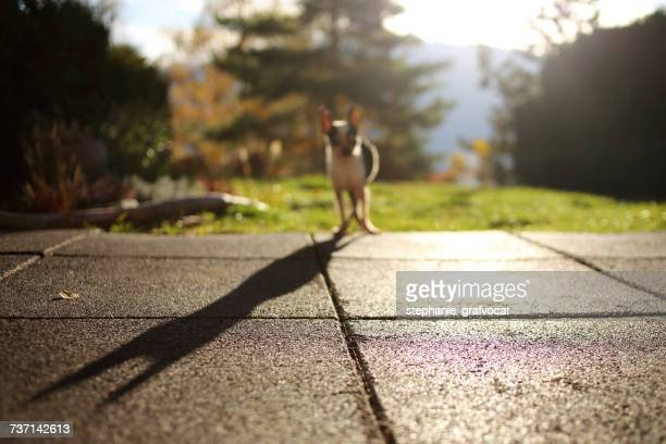 Chihuahua dog standing in garden