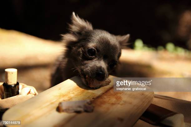 Chihuahua dog stealing food from a wooden board in park