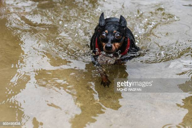 A Chihuahua dog swims at a waterfall in Bentong outside Kuala Lumpur in nearby Pahang state on March 18 2018 / AFP PHOTO / Mohd RASFAN
