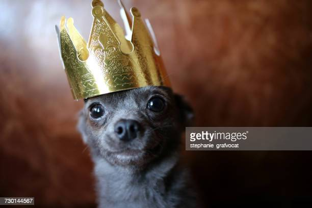 Chihuahua dog wearing a gold crown