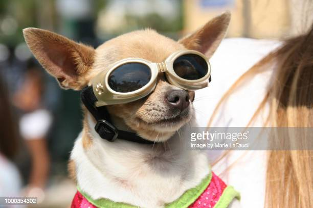 chihuahua dog wearing protective eyewear - chihuahua raça pura - fotografias e filmes do acervo