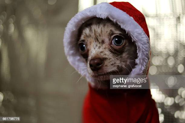 Chihuahua dog wearing santa claus christmas sweater