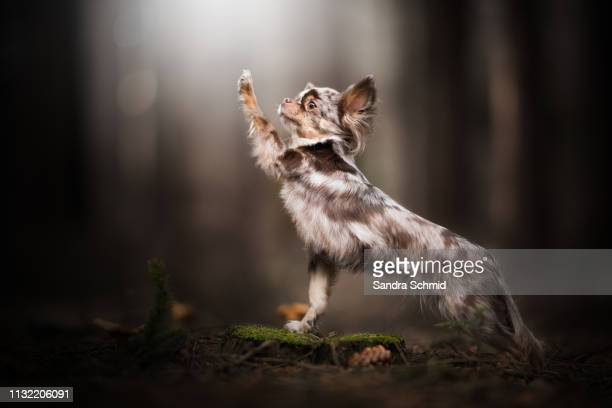 chihuahua doing a trick - in bodenhöhe stock pictures, royalty-free photos & images
