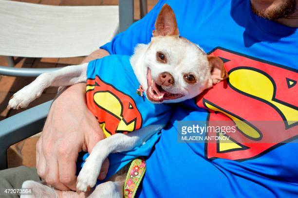 A Chihuahua dressed in a Superman costume sits with his owner during the 4th annual Running of the Chihuahuas in Washington DC on May 3 2015 The...