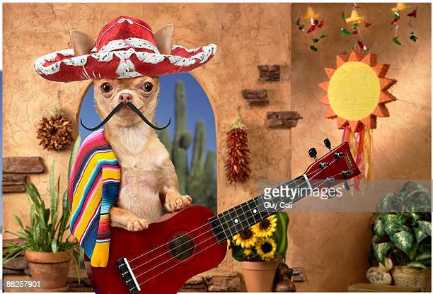 chihuahua dressed up like vaquero - mexican hat stock pictures, royalty-free photos & images