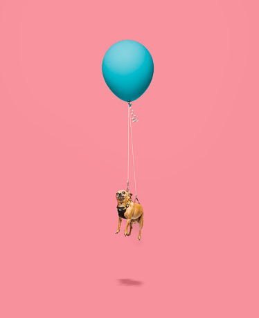 Chihuahua floating tied to a balloon - gettyimageskorea