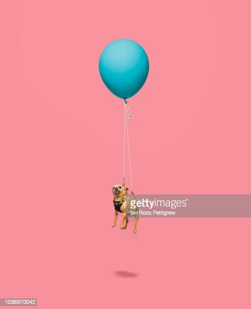 Chihuahua floating tied to a balloon