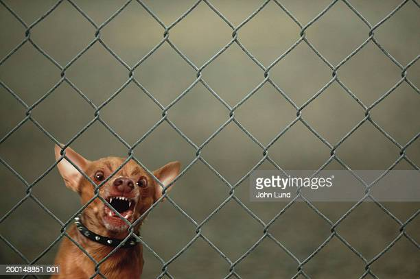 Chihuahua guard dog growling and barking behind chain-link fence