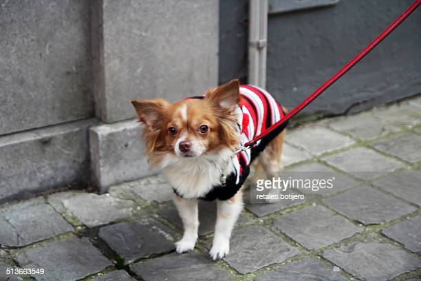 chihuahua in bruges, belgium - long haired chihuahua stock photos and pictures