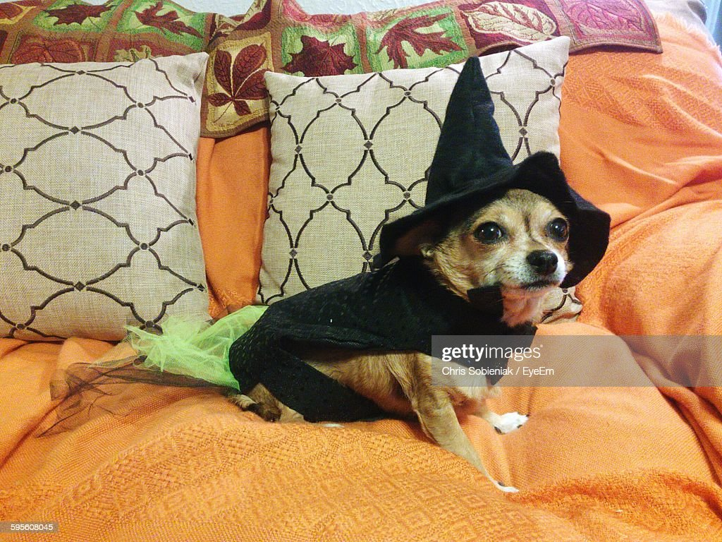 Chihuahua In Halloween Costume Relaxing On Bed At Home  Stock Photo & Chihuahua In Halloween Costume Relaxing On Bed At Home Stock Photo ...