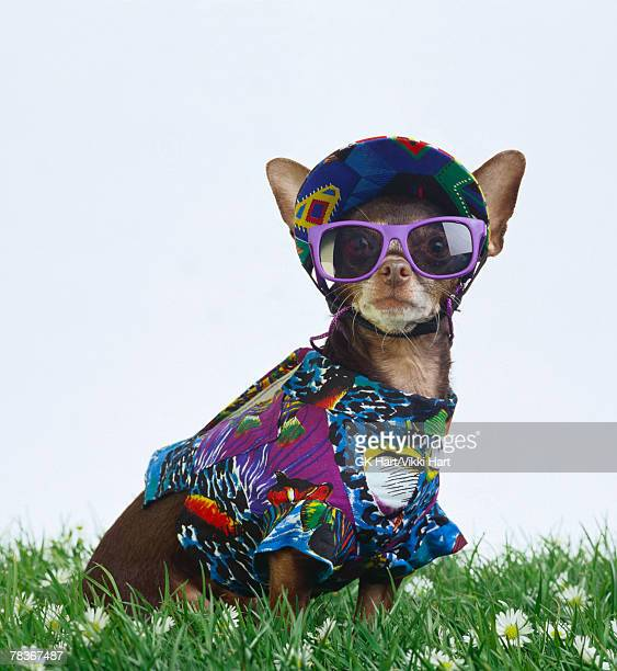 Chihuahua in summer outfit