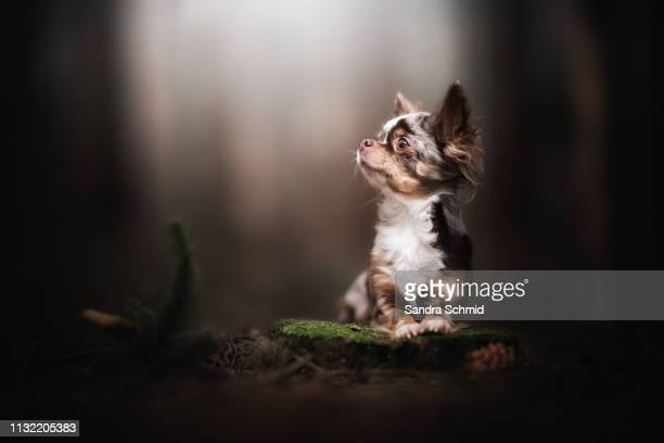 Chihuahua in the forest