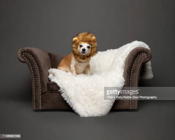 chihuahua in the studio - pet clothing stock pictures, royalty-free photos & images