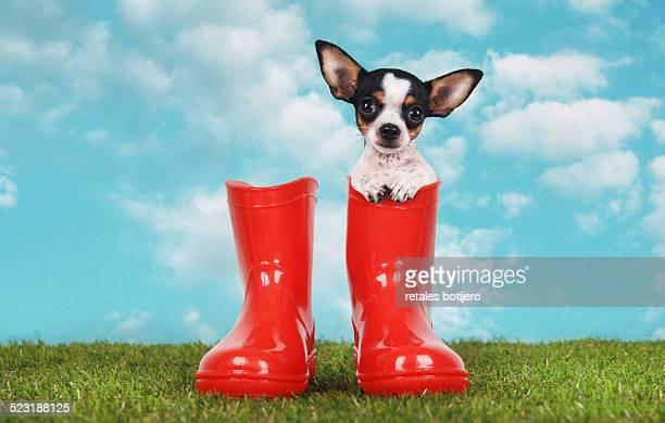 Chihuahua in wellington