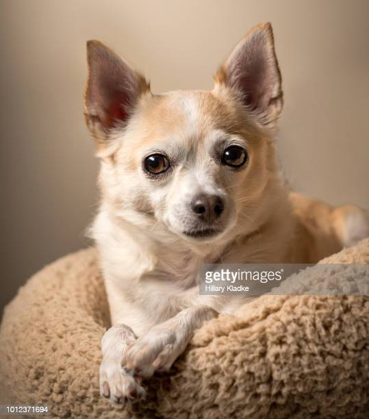 chihuahua laying down - long haired chihuahua stock photos and pictures