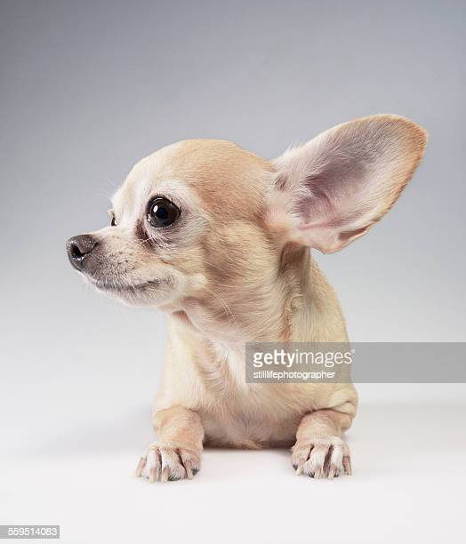chihuahua listening