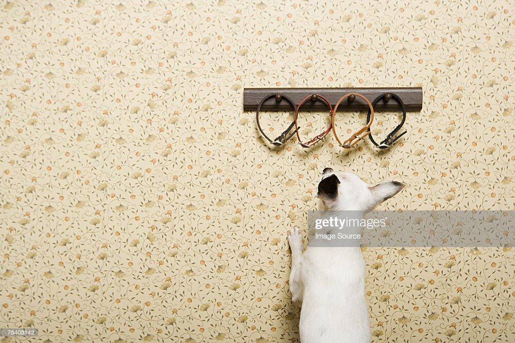 Chihuahua looking at collars : Stock Photo