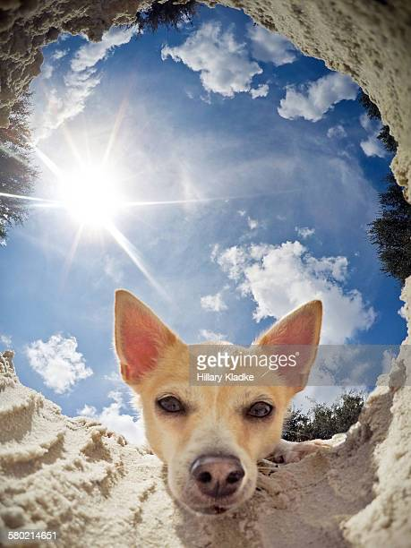 Chihuahua looking into hole