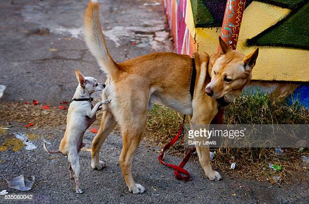 Chihuahua male dog attempting sex with a larger breed in a Montrose avenue alleyway Los Angeles