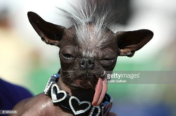 Chihuahua named Elwood sits with his tongue out before the start of the 20th Annual Ugliest Dog Competition at the SonomaMarin Fair June 20 2008 in...