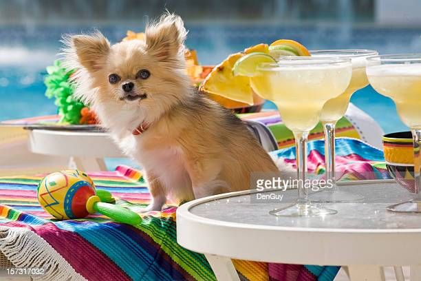 chihuahua next to margaritas by pool - lee county florida stock photos and pictures