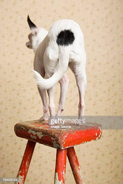 Chihuahua on a stool