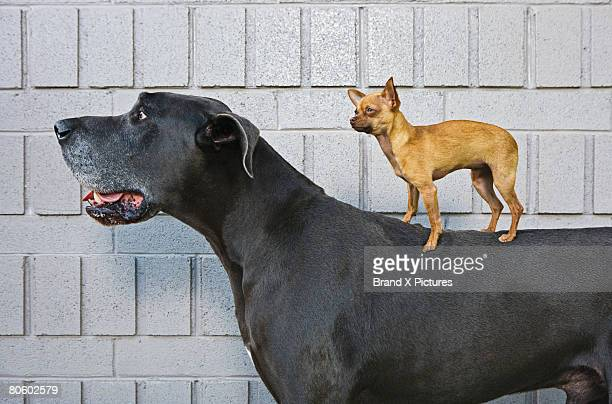 chihuahua on great dane's back - contrasti foto e immagini stock
