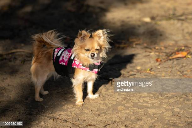 chihuahua on holiday - long haired chihuahua stock photos and pictures