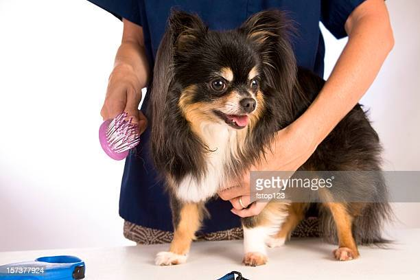 Chihuahua pet dog at the groomers. Brushing, grooming.