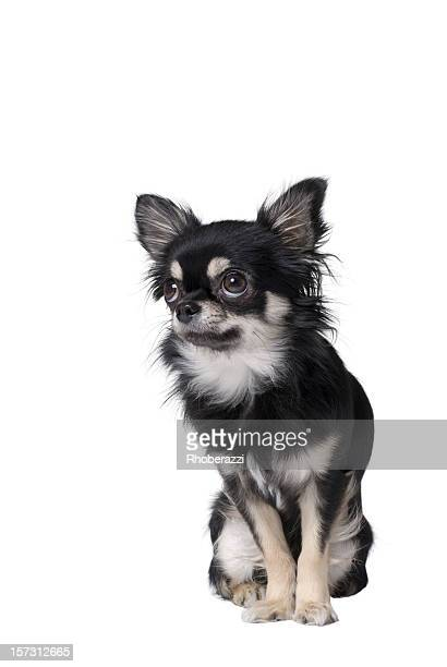 chiwawa - long haired chihuahua stock photos and pictures