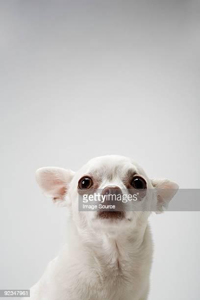 chihuahua - jaded pictures fotografías e imágenes de stock