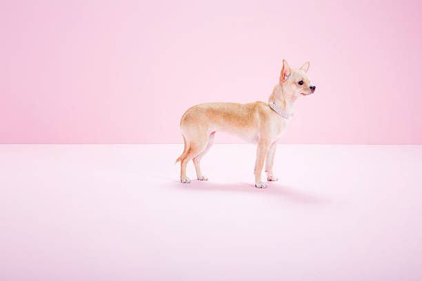 chihuahua, pink background, studio