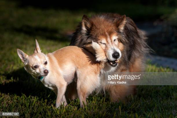 Chihuahua playing with mixed breed dog