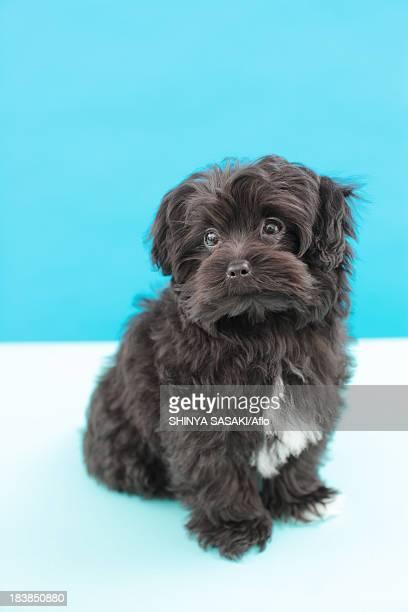 chihuahua poodle mix - caniche toy photos et images de collection