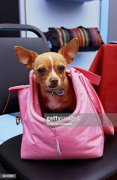 A chihuahua poses in a pink handbag during Step Up Women's Network's Third Annual 'Step Up For Yoga and Health' charity festival at Bergamont Station...