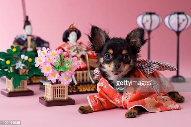 chihuahua puppy and hinamatsuri doll - hinamatsuri stock pictures, royalty-free photos & images