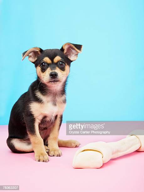 Chihuahua puppy and rawhide bone