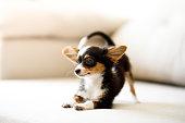 Chihuahua puppy crouching