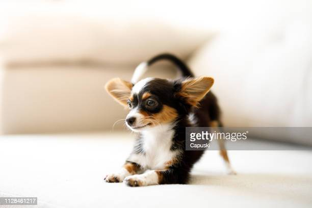 chihuahua puppy crouching - puppy stock pictures, royalty-free photos & images