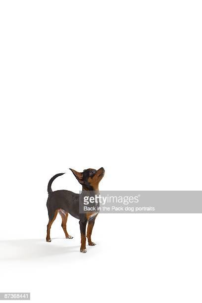 chihuahua puppy dog on white background - small stock pictures, royalty-free photos & images