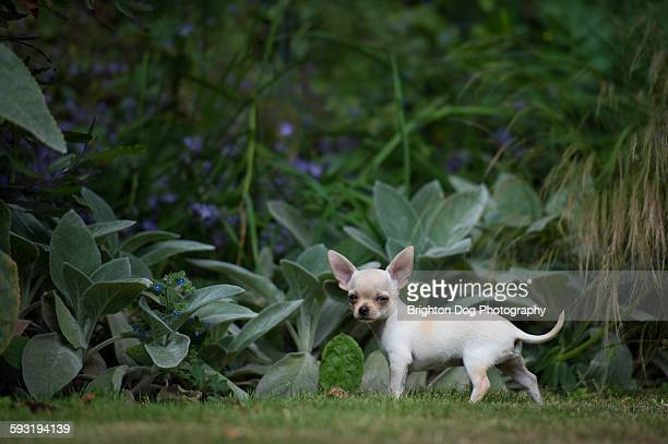 A Chihuahua puppy in a garden