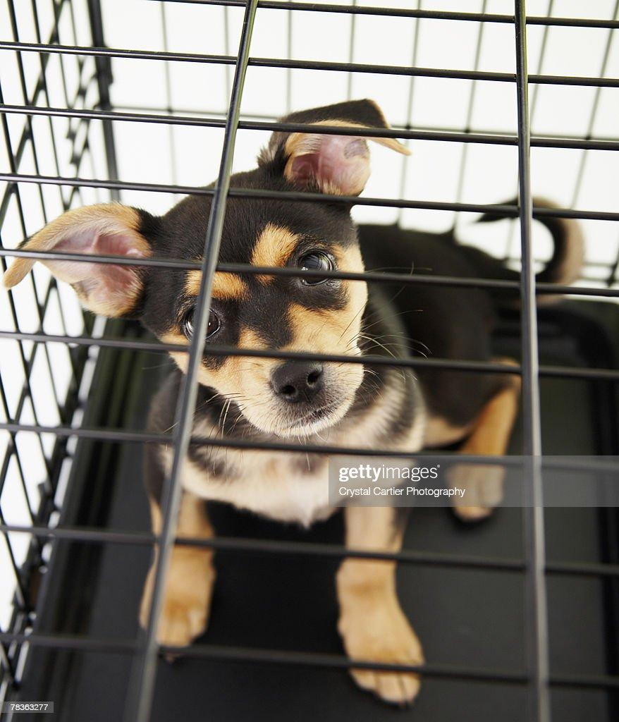 Chihuahua puppy in cage : Foto de stock