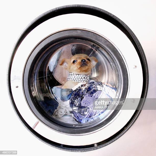 Chihuahua puppy inside a washing machine