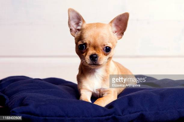 chihuahua puppy is lying on the blue fork. - oreiller geant photos et images de collection