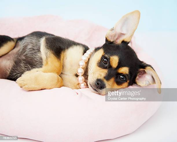 Chihuahua puppy lying down