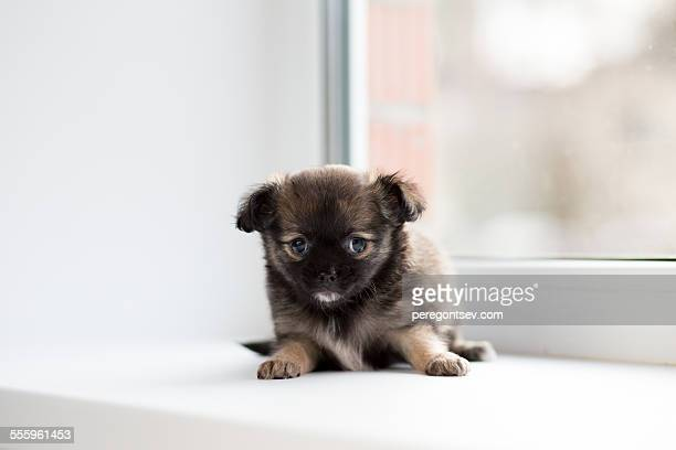 chihuahua puppy lying on the windowsill - long haired chihuahua stock photos and pictures