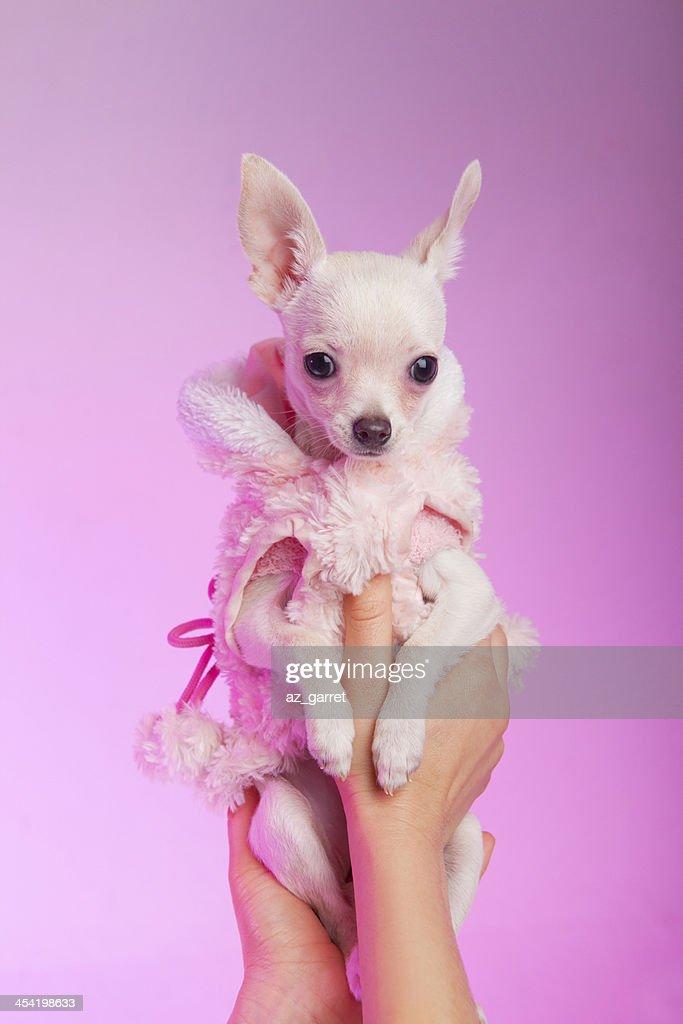 Chihuahua cachorrinho : Foto de stock