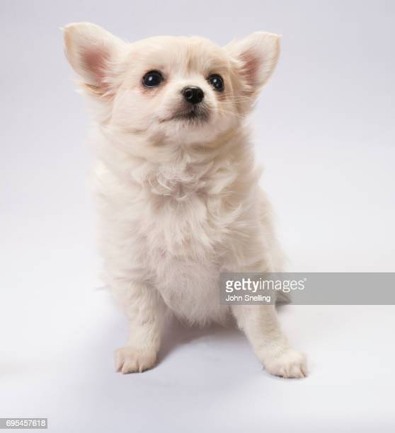 chihuahua puppy - long haired chihuahua stock photos and pictures