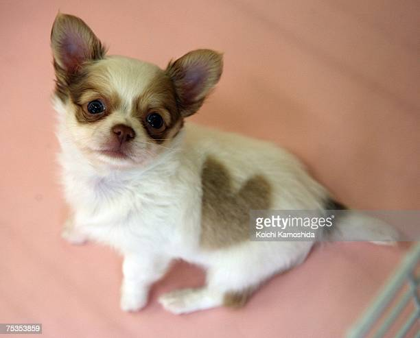 A chihuahua puppy poses at Pucchin Dog's shop on July 11 2007 in Akita prefecture Japan The chihuahua was born with a perfect heartshaped marking on...